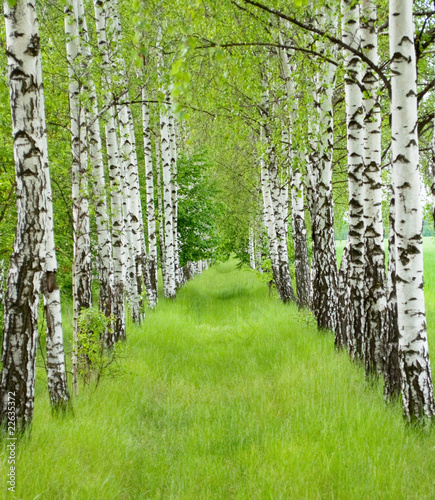 Deurstickers Berkbosje Summer birchwood