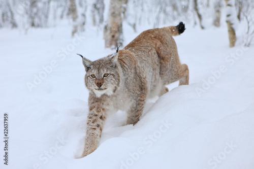 Foto auf Leinwand Luchs A Male Lynx in Norway