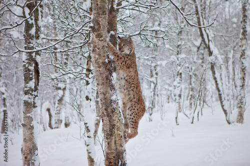 Foto auf Leinwand Luchs A Female Lynx climbs a tree