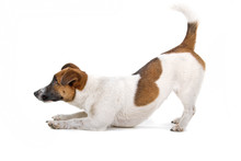 Side View Of A Jack Russel Ter...