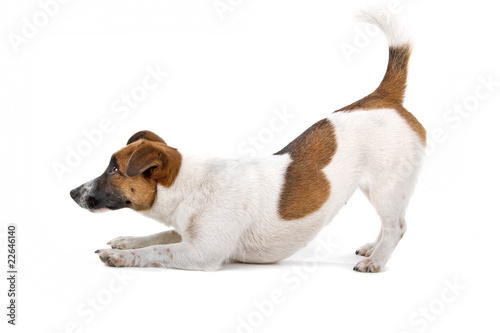 Valokuva side view of a jack russel terrier dog playing