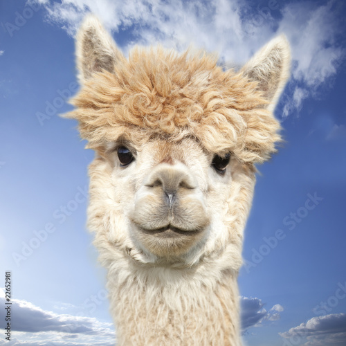 Crédence de cuisine en verre imprimé Lama White alpaca watching you in front of blue sky with clouds