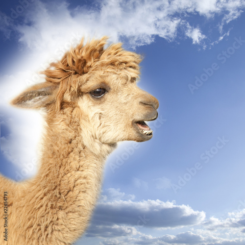 Poster Lama Crying alpaca in front of blue sky