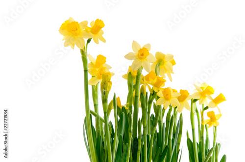 Papiers peints Narcisse Kleine gelbe Narzissen