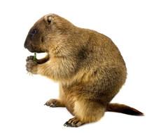 Marmot (Marmota Steppe) On A W...