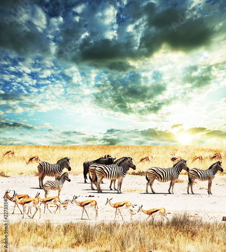 Zebra on sunset
