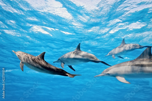 Photo sur Toile Dauphin Dolphins in the sea