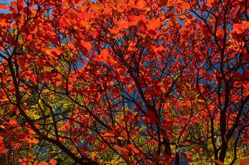 Obraz na Szkle Liście Autumn bushes