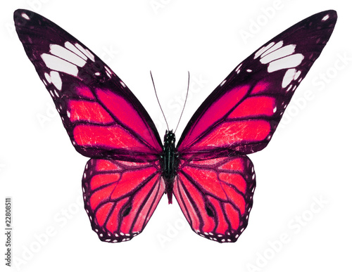 Fotografie, Obraz  Red Color Monarch Butterfly isolated on white background
