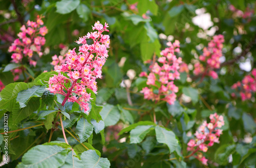 Blossoming pink horse chestnuts