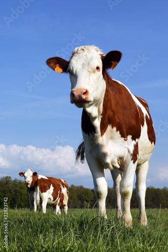 Papiers peints Vache fière sur ses pattes