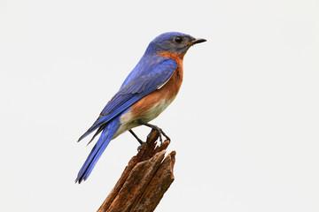 Isolated Bluebird On A Stump