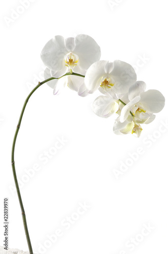 Poster Orchid elegant white orchid(phalaenopsis)
