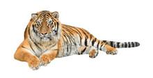 Siberian Tiger (Panthera Tigris Altaica) Cutout