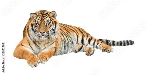 Foto auf Gartenposter Tiger Siberian tiger (Panthera tigris altaica) cutout