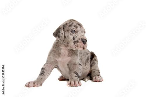 Fototapeta great dane puppy (blue merle) obraz