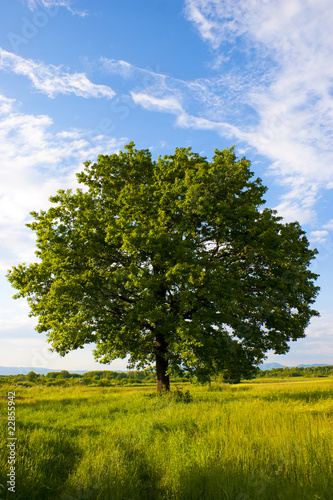Cadres-photo bureau Campagne Solitary oak tree