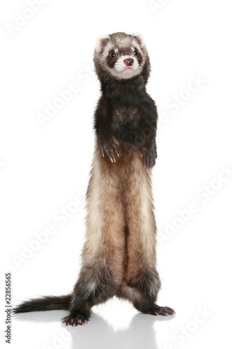 Valokuva  Ferret (Mustela putorius furo) on white background