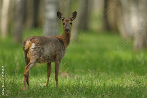 Photo sur Aluminium Roe Biche