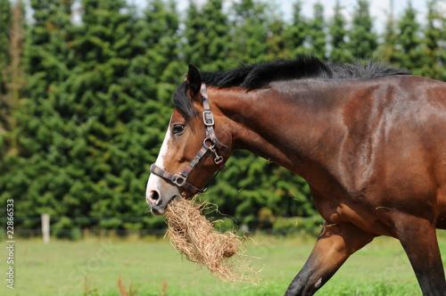 Fotografía  Braunes Pferd mit Futter