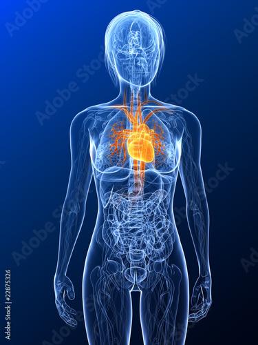 Fényképezés  transparenter Körper mit markiertem Herz