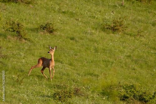 Foto op Canvas Ree European roe deer