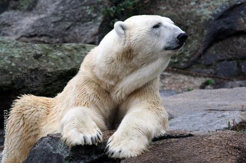 Portrait of Polar Bear