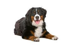 Resting Bernese Mountain  Dog (berner Sennenhund, Bernois)