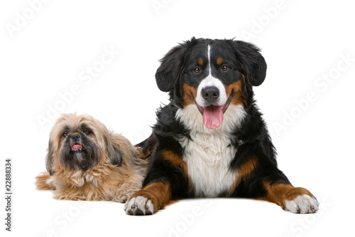 Photo  Shih tzu and a Bernese mountain dog isolated on white