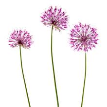Three Decorative Allium Flowerheads Isolated On White