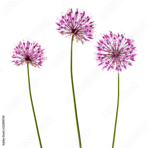 Fotografie, Tablou three decorative allium flowerheads isolated on white