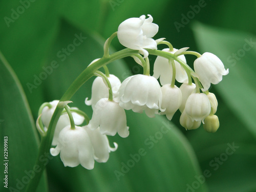 Foto op Plexiglas Lelietje van dalen lily of the valley