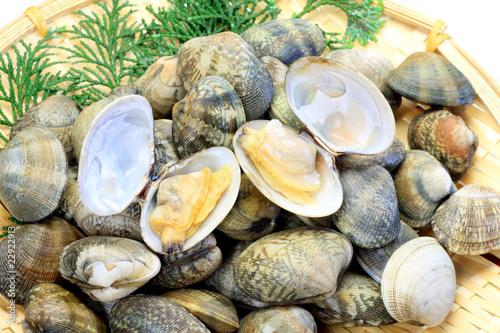 Photo  short-necked clam