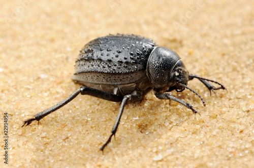 Darkling beetle on the sand Fototapete