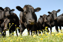 Black Angus And Buttercup