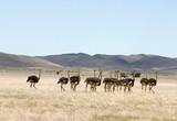 Strausse in der Namib