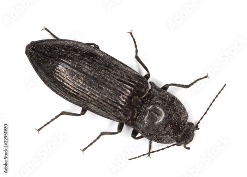 Click beetle isolated on white background. Wallpaper Mural