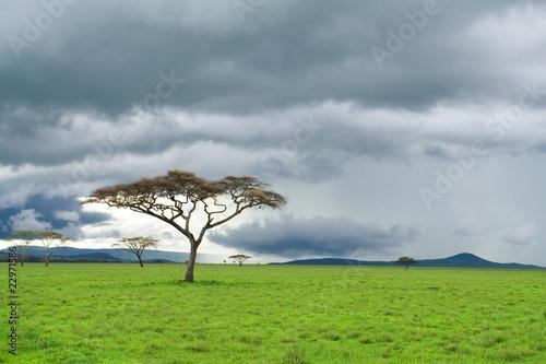Obrazy na płótnie Canvas detached tree, green grassland and storm cloud in savanna