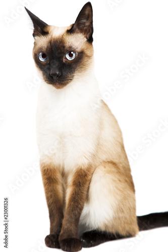 Obraz na plátně Siamese cat