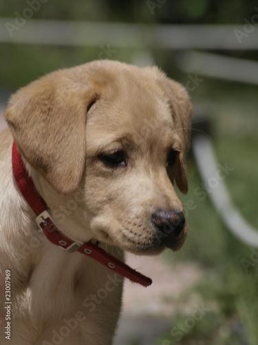 Cachorro De Golden Retriever Buy This Stock Photo And Explore