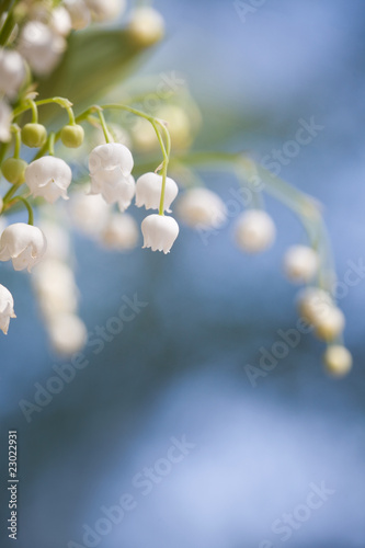 canvas print motiv - Kati Finell : Lily of the valley