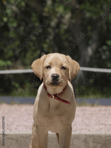 Cachorro De Golden Retriever Buy This Stock Photo And Explore