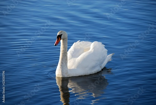 Foto auf Acrylglas Schwan Swan