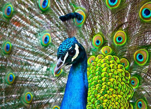 Fotografie, Obraz  Paon bleu et vert