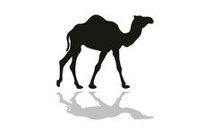Black Silhouette Of Camel Isol...