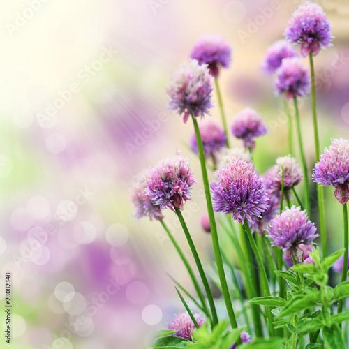 Chive flowers Plakat