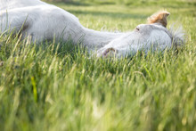 A Beautiful White Newborn Foal Sleeping On The Grass
