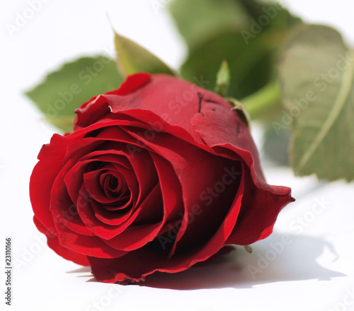 Plakat Czerwona róża z bliska