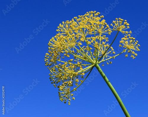 Fotografie, Obraz  ombelle composée jaune sur fond de ciel bleu