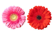 Red And Pink Daisy-gerbera Heads With Water Drops
